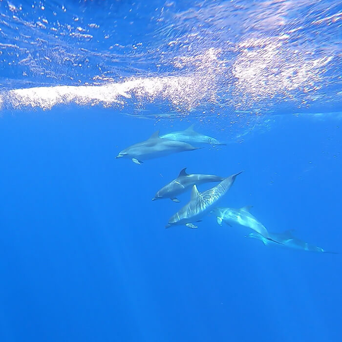 Tenerife field trip - Atlantic spotted dolphins