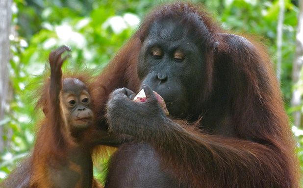 image of New study explores causes of and solutions to orangutan killing