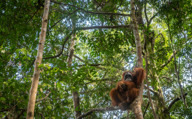image of Closer scientific collaboration needed to save orangutan, say leading experts
