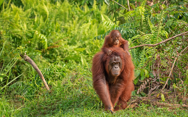 image of Aapje Aram and the construction of reality in orangutan conservation