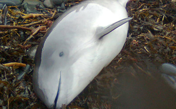 image of Baby porpoises carry more toxic chemicals than mothers