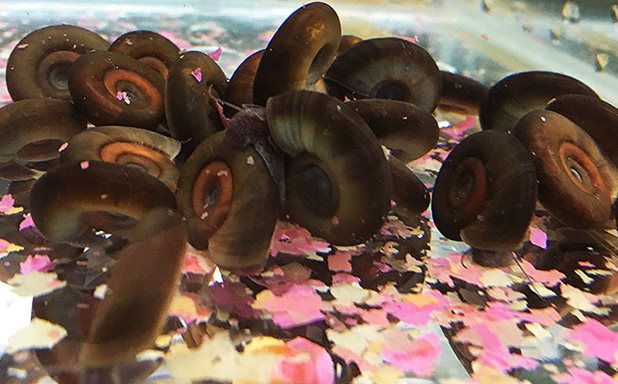 image of Snail genome analysis could help eliminate transmission of deadly parasitic disease