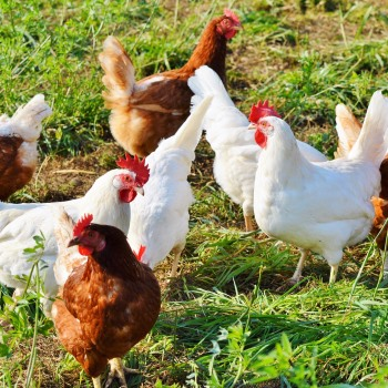 Low-cost Diagnostic Platform for Detection of Poultry Infectious Pathogens