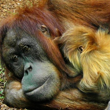 The global lives of the orangutan