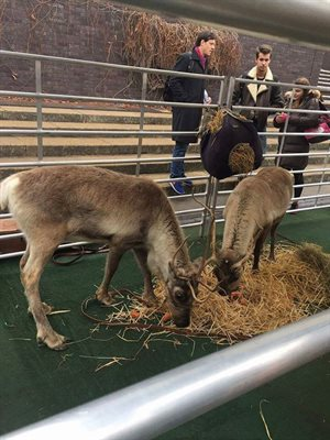 Reindeers-at-the-Brunel-Christmas-market300x400